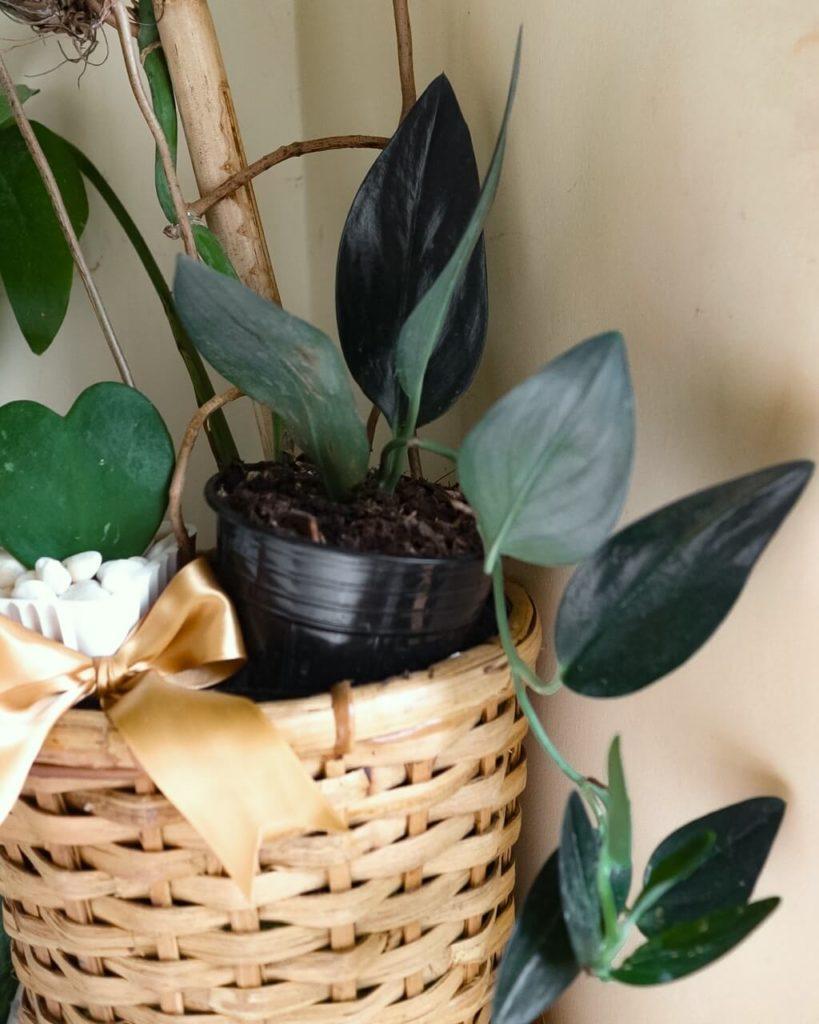 plants cebu philippines